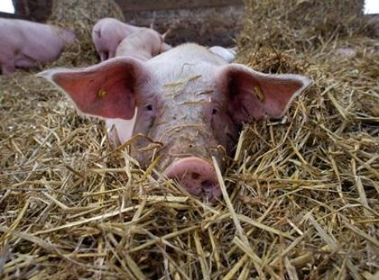 39486_pig-in-straw